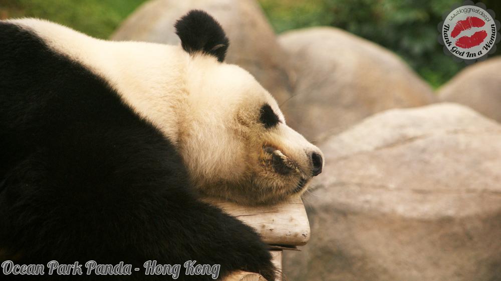 Ocean Park Panda - Hong Kong